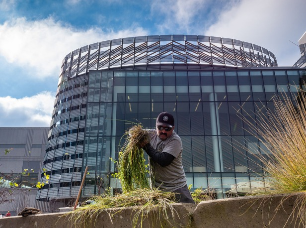 Man pulls a bundle of native plants from the ground in front of the library