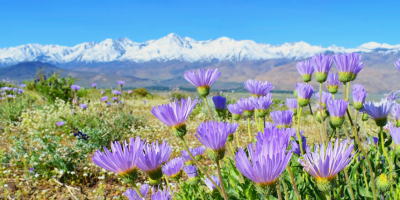 snowy mountains and field of flowers